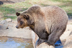 bear about to take a plunge