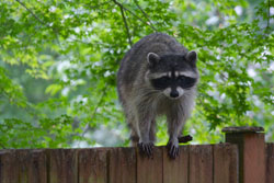 racoon on the fence